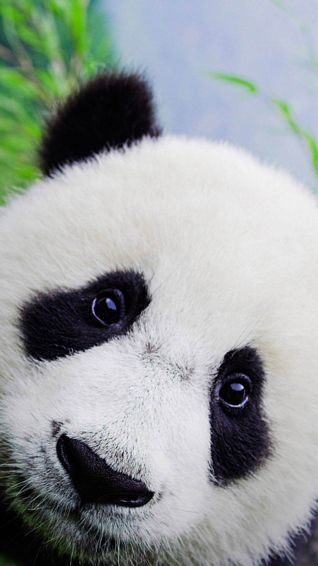 Panda iphone wallpaper supportive guru - Phone animal wallpapers ...