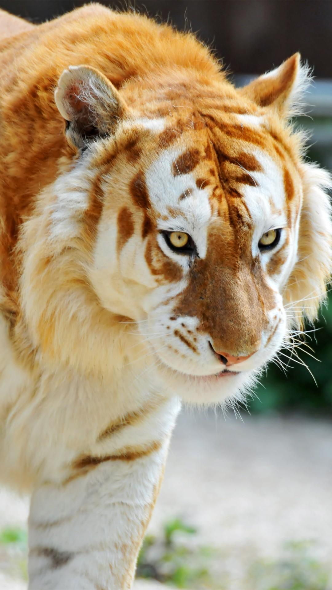Animals Wallpapers Albino Tiger Animal Mobile Wallpaper