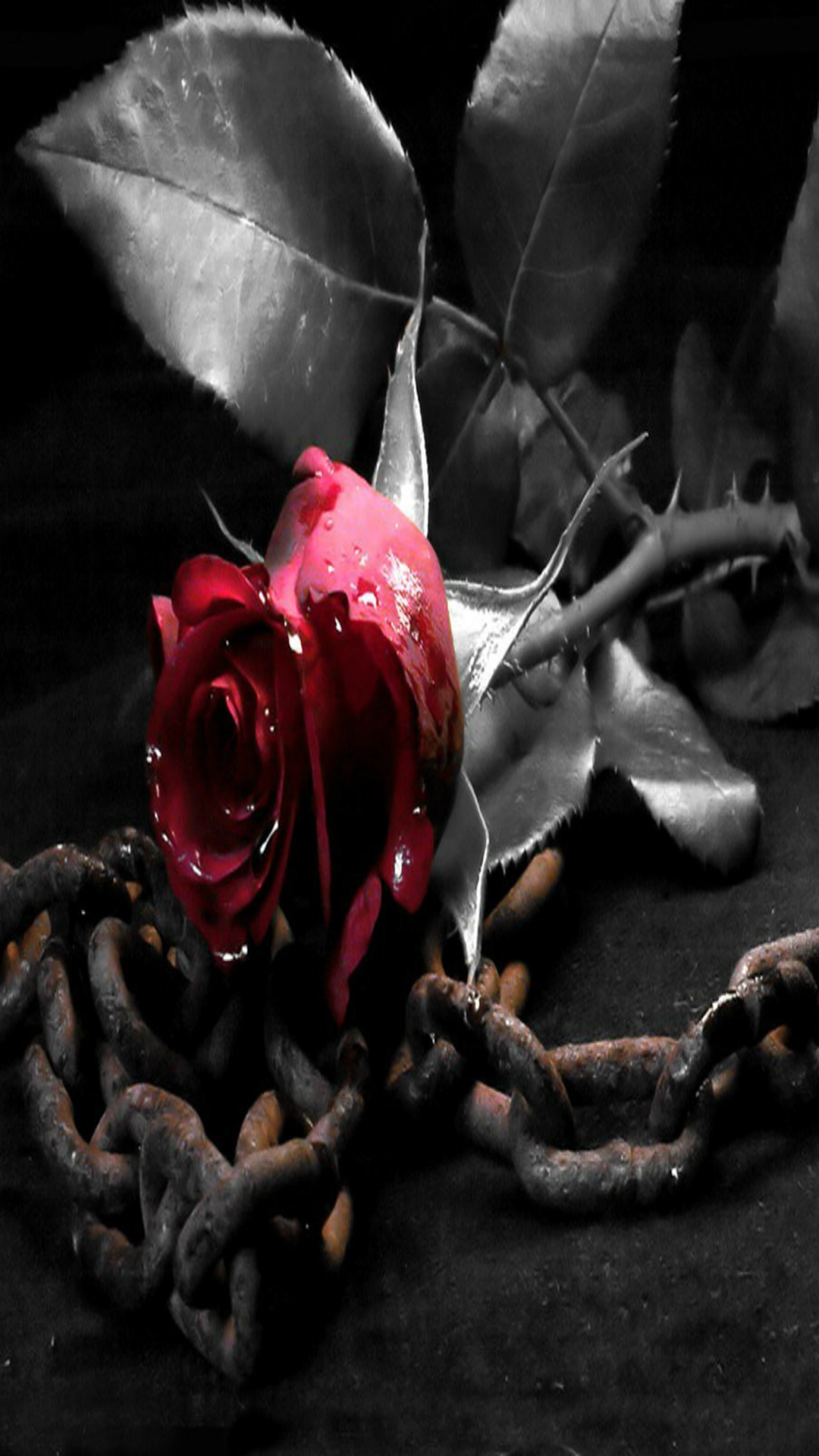 Rose Wallpaper Red Rose In Black And White Iphone 5s Hd